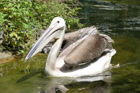 Three new pelicans fit the bill in St James's Park