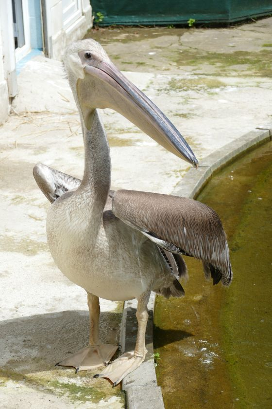 One of the three new pelicans