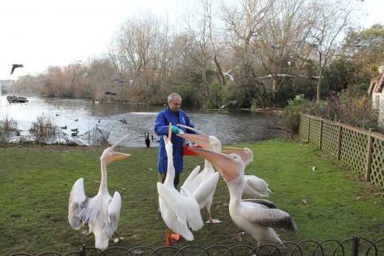 Feeding the pelicans