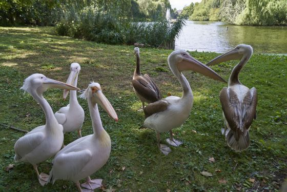 Pelicans in the St James's Park