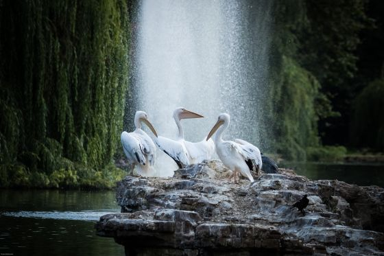 Three pelicans in front of fountain