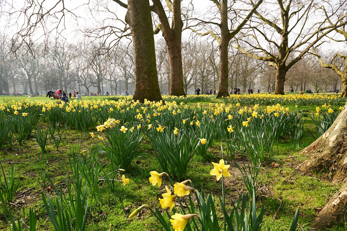 Daffodils in Green Park