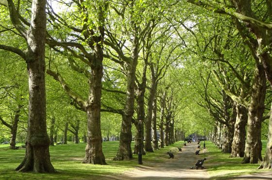 Trees in The Green Park