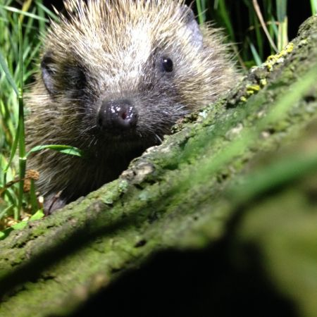 Unearthing the secret lives of hedgehogs in The Regent's Park