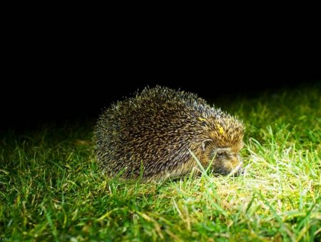 A midnight search for hedgehogs
