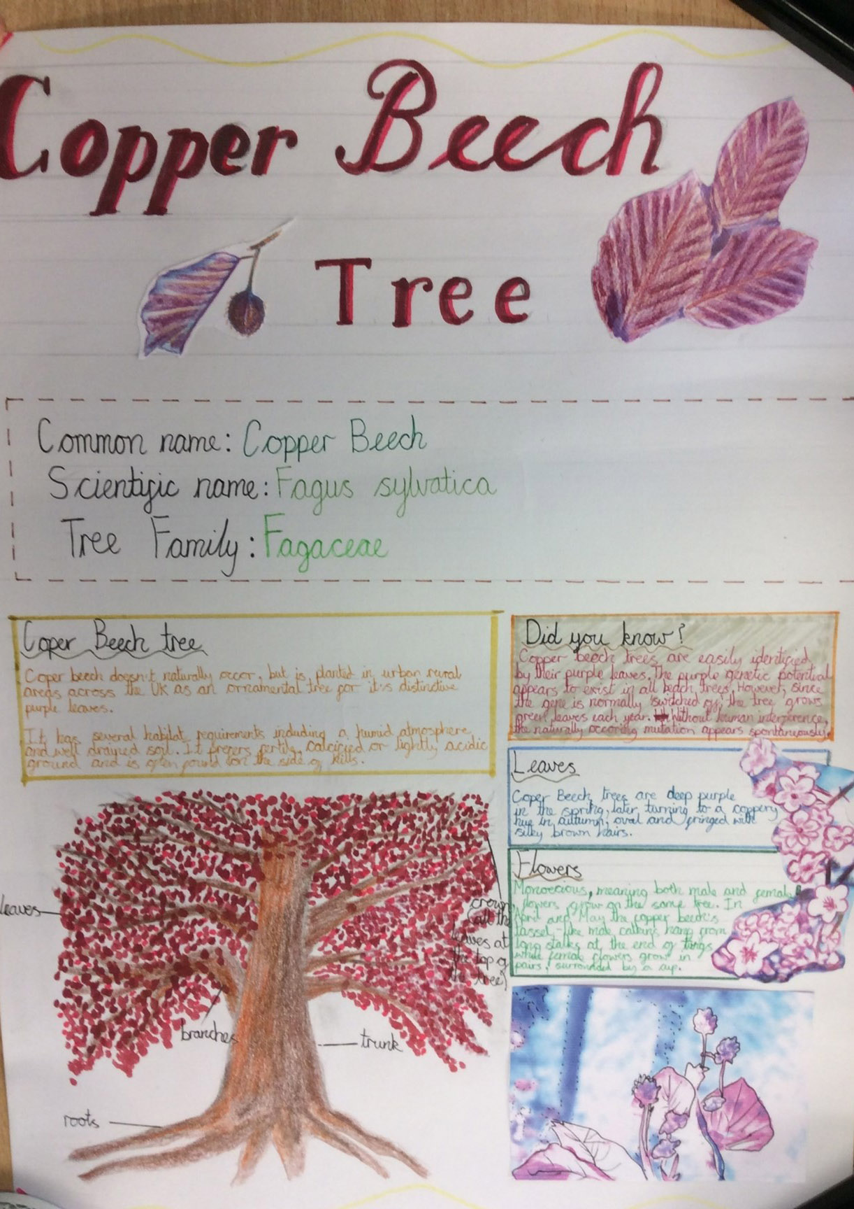 Copper Beech Tree research poster (Hayes Park School)