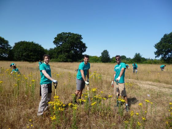 Ragwort pulling in the sunshine at Bushy Park