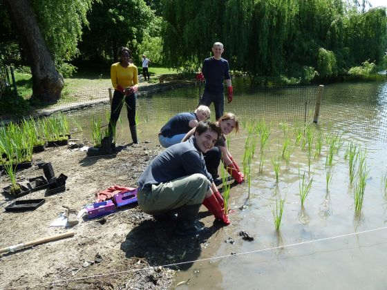 Reed bed planting in Regent's Park