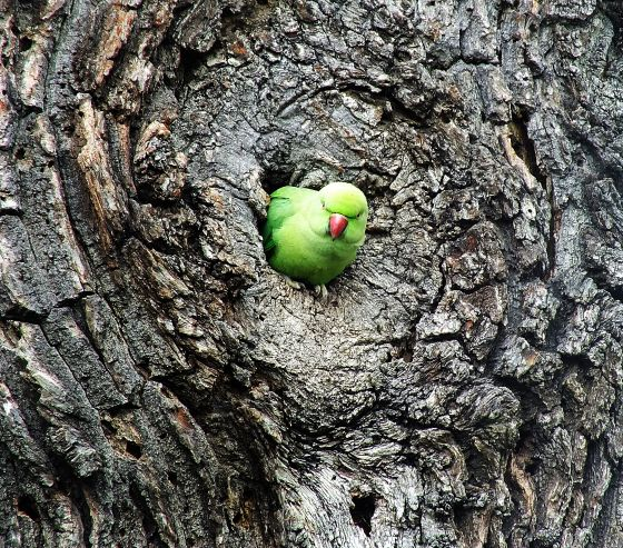 A parakeet in a tree, Bushy Park, by Sandra Hawe