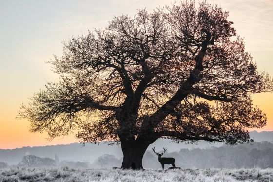 A stag and oak tree in Richmond Park, by Daniel Langer