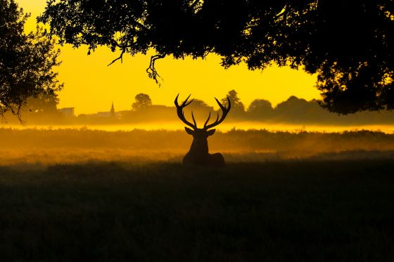 A stag in Bushy Park, by Philip Passey