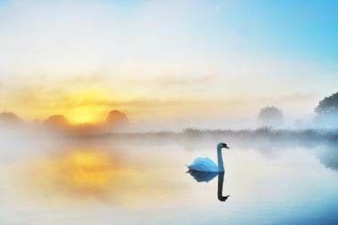 A swan on a quiet November morning in Bushy Park, by Astrid Tontson