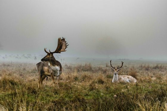 Fallow deer on a cold December morning in Richmond Park, by Karoly Rucska