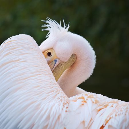 A peeping pelican steals the show in the Royal Park's photo competition