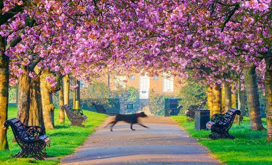 The Rangers House in Greenwich Park during the spring cherry blossom, by Teddy Duran