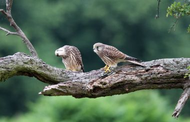 Two young kestrels in Bushy Park, by Evan Landy