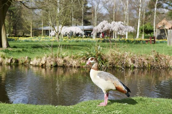 Egyptian Goose in the Woodland Garden