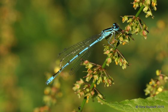 Azure Blue Damselfly - Photo: Tony Duckett