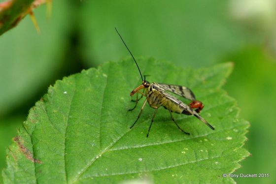 Scorpion Fly in Bushy Park - Photo: Tony Duckett