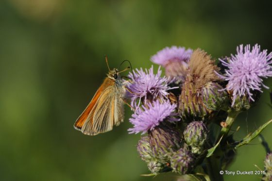 Small Skipper Butterfly in Bushy Park. Photo - Tony Duckett