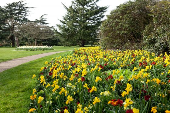 Daffodils in the Flower Garden