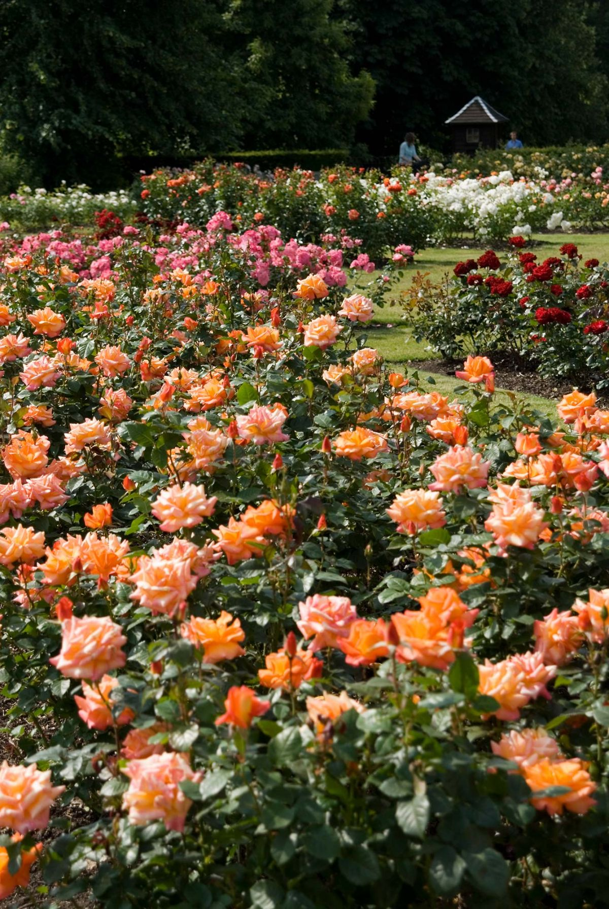 rose garden A spectacular garden featuring rose planting mixed with herbaceous planting to create rich seasonal flower beds and strong scents.