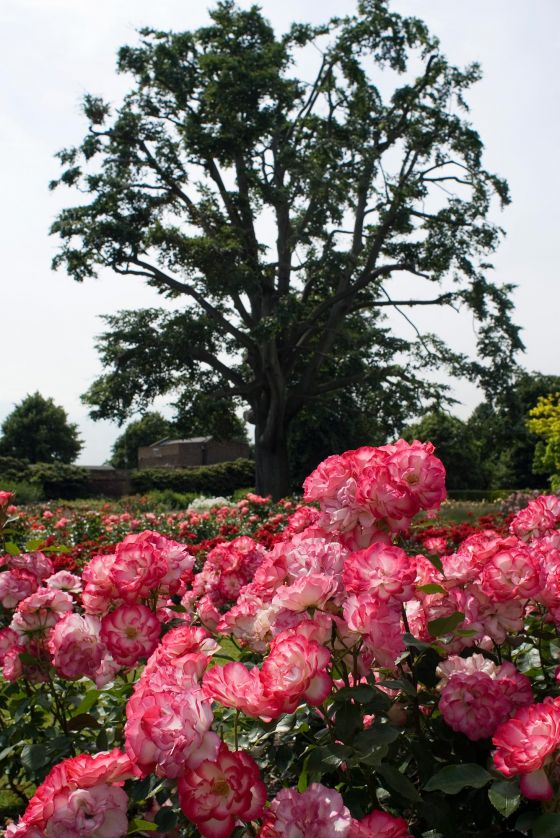 Pink roses in the Rose Garden