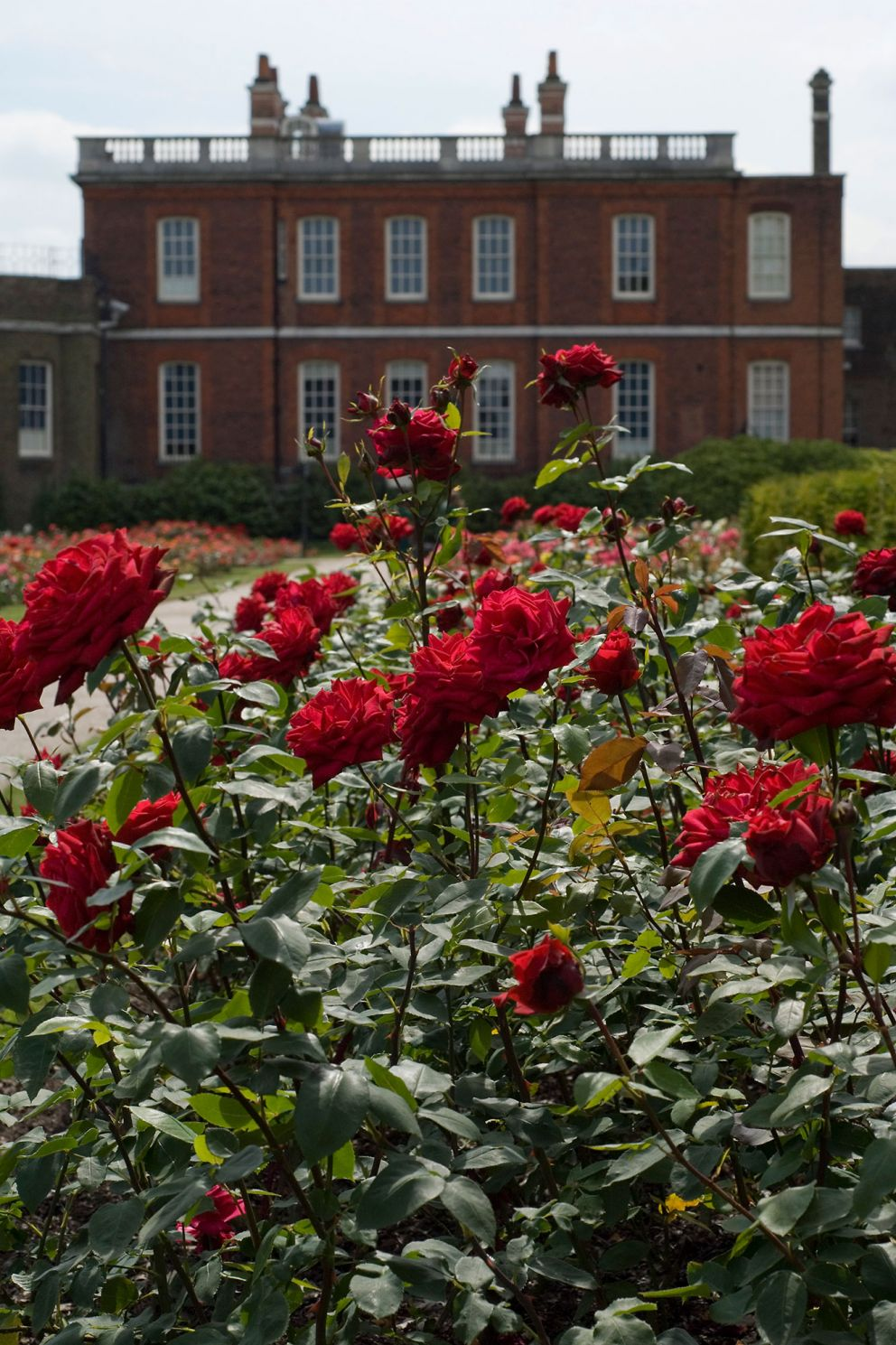 Roses In Garden: The Royal Parks