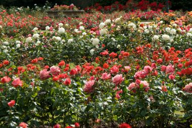 Roses in the Greenwich Park Rose Garden