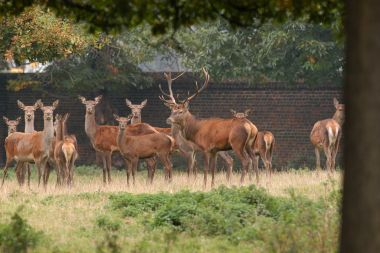 Deer in Greenwich Park