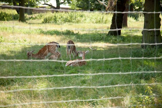 Young deer in Greenwich
