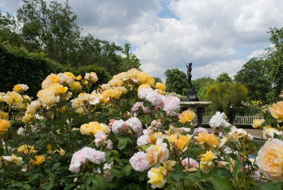 Summer roses in the Hyde Park Rose Garden