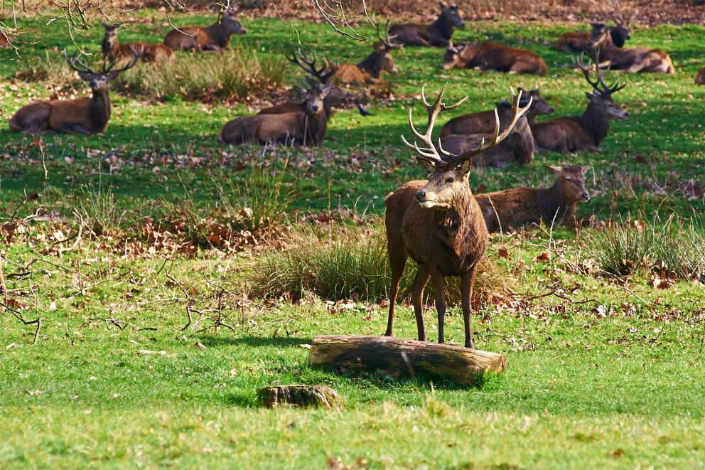 ... and deer park with 630 Red and Fallow deer roaming freely since 1637