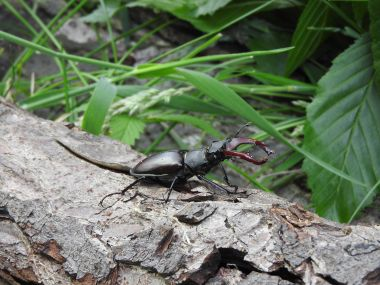 Stag beetle in Richmond Park