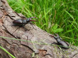 Two stag beetles in Richmond Park