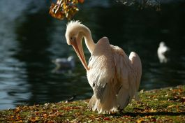 Pelican in St James's Park