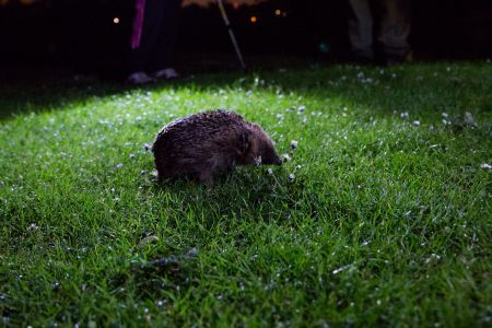 Unearthing the secret lives of hedgehogs in London's Regent's Park