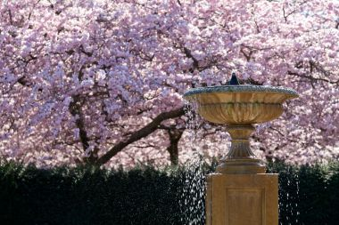 Bird bath and cherry blossom tree in the Avenue Gardens
