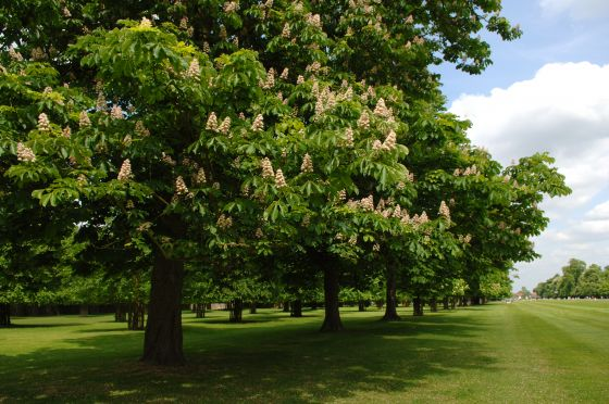 Blossom on the horse chestnut trees in Bushy Park