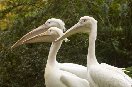 The Royal Parks presents Virtual Feeding of the Pelicans